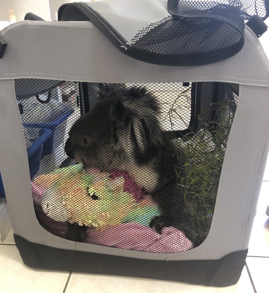 Indy, a rescue koala